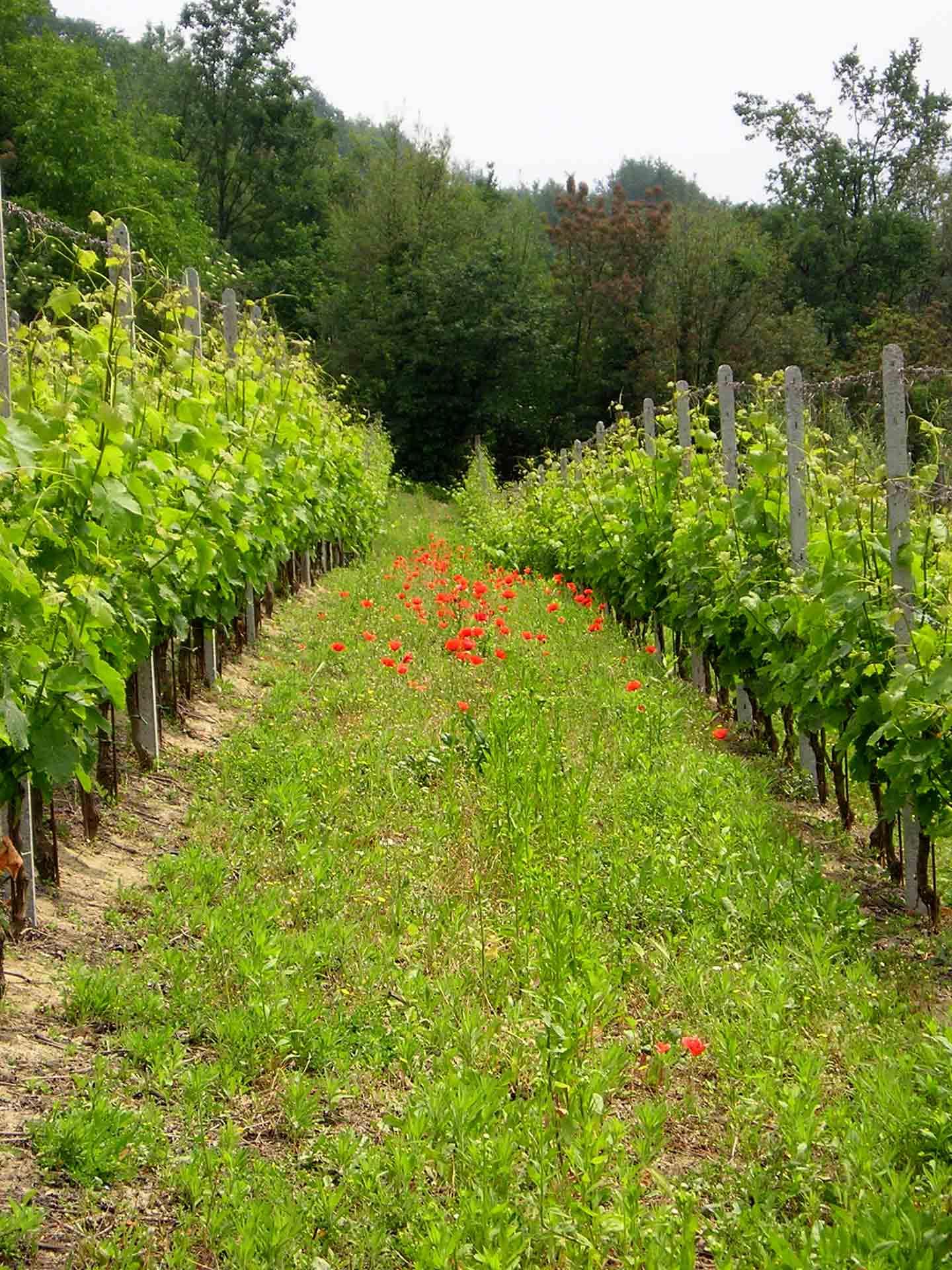 Casa Re |Weinberge in Montabone im Piemont, Italien